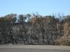 Scorched trees